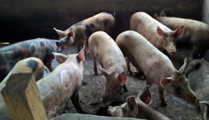 Some of the pigs in the pen