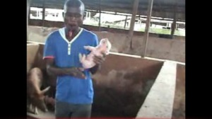 Our partner cutting the teeth of a piglet