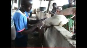 Pig Vaccination on our Oke-Aro pig farm