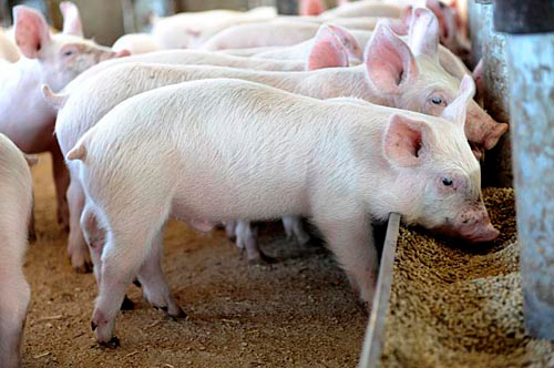 Pig Farming In Kenya Amp The Secrets Of Making Millions